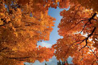 image of maple trees